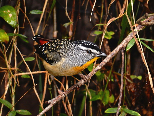 Spotted Pardalote photo
