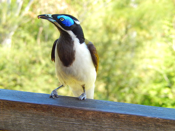 Blue faced honey eater photo