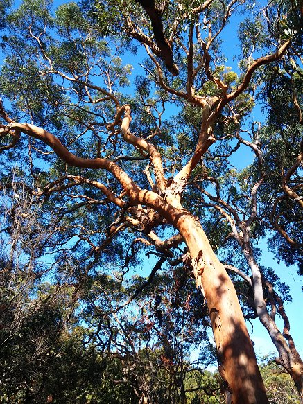 Red gum forest photo