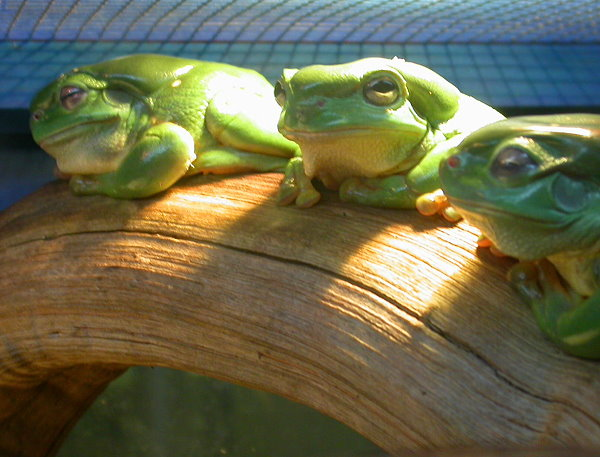 Tree frogs photo